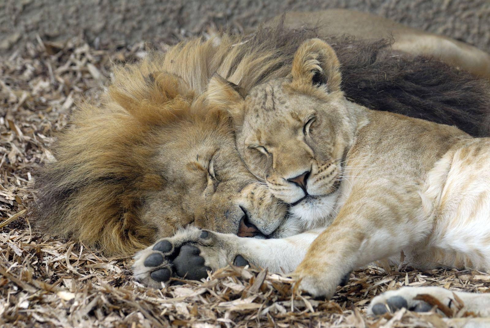 Lions and Sleep  Sleeporg