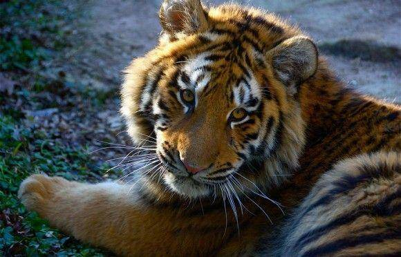 Фотообои тигр белый 6